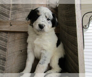 Border Collie Puppy for sale in JACKSON, MI, USA