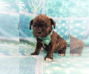 View Ad: French Bulldog-Frenchie Pug Mix Puppy for Sale near