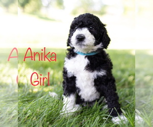 Puppyfinder com: Sheepadoodle puppies puppies for sale near