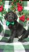 Labradoodle Puppy For Sale in LANCASTER, Pennsylvania,