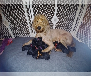 Goldendoodle Puppy for sale in DICKSON, TN, USA