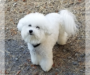 Mother of the Bichon Frise puppies born on 11/23/2020