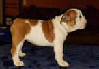 English Bulldogge Puppy For Sale in THOMPSONS STATION, TN, USA