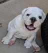 10 Week Male English Bulldog Puppy