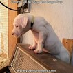 Small Photo #67 Dogo Argentino Puppy For Sale in PINEVILLE, MO, USA