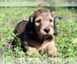 Dachshund Puppy for Sale in PORT RICHEY, Florida USA