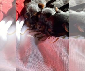Yorkshire Terrier Puppy for sale in OAKLAND, CA, USA