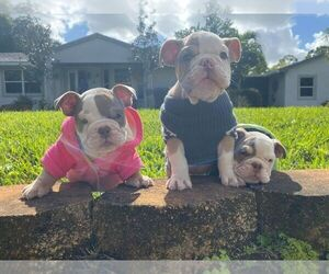 English Bulldog Puppy for sale in LOXAHATCHEE, FL, USA
