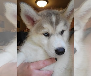 Alusky Puppy for Sale in JEWETT, Ohio USA