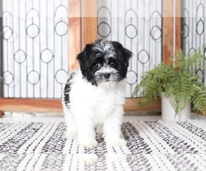 Havanese Puppy for Sale in NAPLES, Florida USA