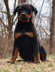 Rottweiler Puppy For Sale in WARSAW, Indiana,