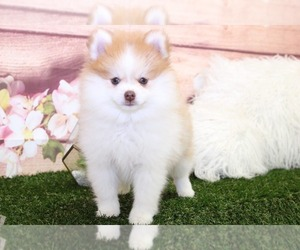 Pomeranian Puppy for Sale in MARIETTA, Georgia USA