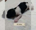 Puppy 6 Labradoodle-Poodle (Standard) Mix