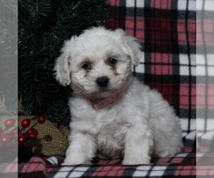 Bichon Frise Puppy for Sale in BIRD IN HAND, Pennsylvania USA