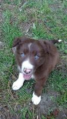 Border Collie Puppy For Sale in RANDOLPH, AL