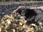 German Shepherd Dog Puppy For Sale in CHESAPEAKE, VA, USA