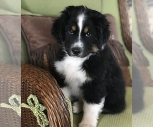 Miniature Australian Shepherd Puppy for Sale in CASTLE ROCK, Colorado USA
