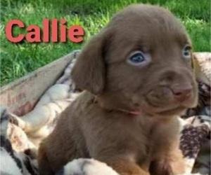 Labrador Retriever Puppy for sale in SEDALIA, MO, USA