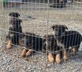 German Shepherd Dog Puppy For Sale in WOODLAND, CA, USA