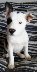 Border Collie Puppy For Sale in VERNAL, UT, USA