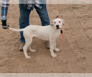 Dogo Argentino Puppy for Sale in SPANISH SPGS, Nevada USA