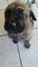 Mastiff Puppy For Sale in HOUSTON, TX