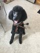 Poodle (Standard) Puppy For Sale in RACINE, WI, USA