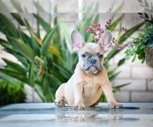 French Bulldog Dog for Adoption in MURRIETA, California USA