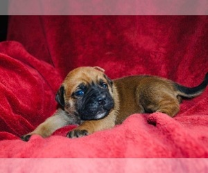 English Bulldogge-Mastiff Mix Puppy for sale in GLASGOW, KY, USA