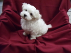Maltese Puppy For Sale in WINSTON SALEM, NC, USA