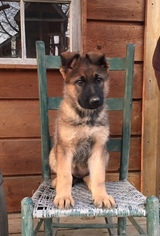 German Shepherd Dog Puppy For Sale in GREENCASTLE, PA