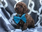 Toy Poodle male ready