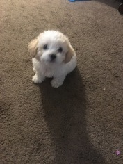 Maltese Puppy for sale in BAKERSFIELD, CA, USA