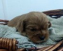Cavalier King Charles Spaniel Puppy For Sale in WINDSOR LOCKS, CT, USA
