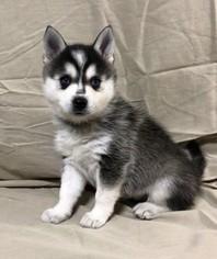 View Ad Alaskan Klee Kai Puppy For Sale Near Oregon Aumsville Usa