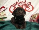 Small #41 Labrador Retriever