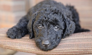 Airedoodle Puppy for sale in PHOENIX, AZ, USA