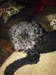 Rehoming Toy Poodle