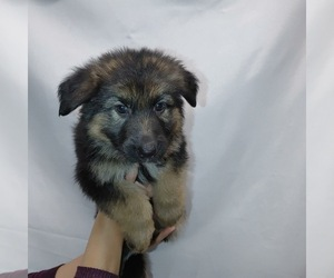 German Shepherd Dog Puppy for sale in WEST SIDE, MA, USA