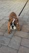 Bulldog Puppy For Sale in MATAWAN, NJ, USA