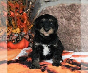 Bernedoodle-Poodle (Miniature) Mix Puppy for sale in DENVER, PA, USA