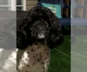 Father of the Poodle (Standard) puppies born on 10/25/2020