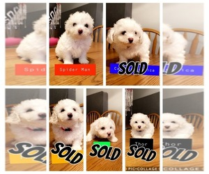 Bichon Frise Puppy for sale in RACINE, WI, USA