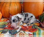 Image preview for Ad Listing. Nickname: Blue Merle 1