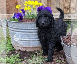 Goldendoodle-Poodle (Standard) Mix Puppy for sale in LEHIGHTON, PA, USA
