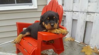 View Ad Rottweiler Puppy For Sale Pennsylvania Lebanon Usa