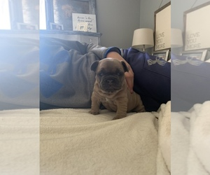 French Bulldog Puppy for sale in GLENDALE HEIGHTS, IL, USA