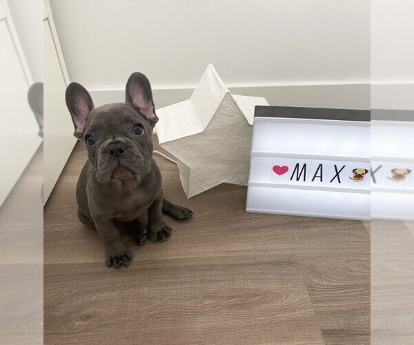 Medium Photo #8 French Bulldog Puppy For Sale in JERSEY CITY, NJ, USA