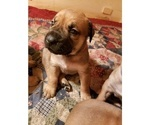 Puppy 6 Boerboel