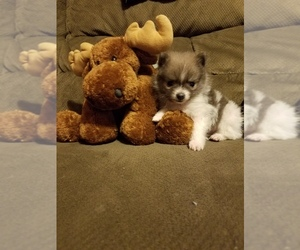 Pomeranian Puppy for sale in BRATTLEBORO, VT, USA